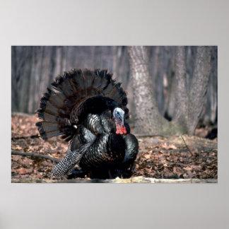Eastern wild turkey strutting in woods poster