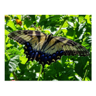 Eastern Yellow Swallowtail Butterfly Postcards