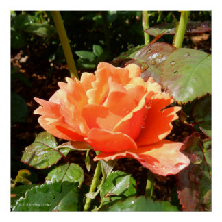 Easy Does It Orange Rose Photo Square Poster