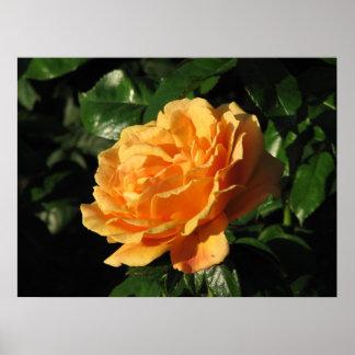 Easy Going Floribunda Rose 008 Print