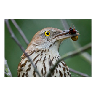 """""""Eat Me"""" Brown Thrasher with Breakfast Poster"""