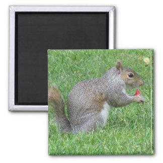 Eating Squirrel Magnet