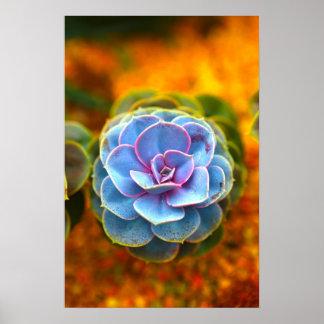 Echeveria coloreado azul póster