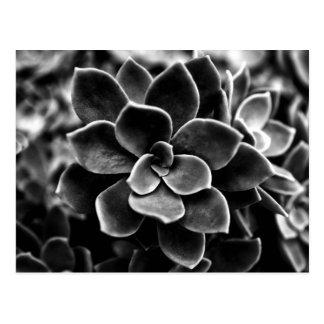 Echeveria elegans postcard