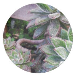 Echeveria harmsii plate