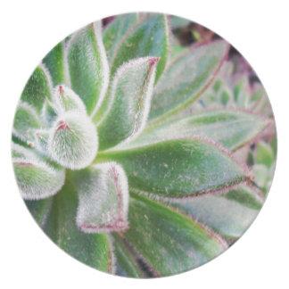 Echeveria harmsii dinner plate