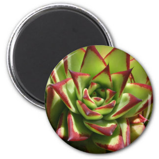 Echeveria magnet