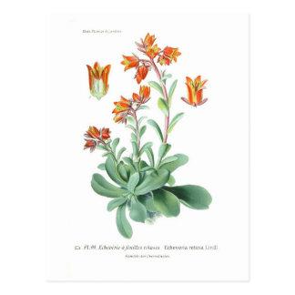 Echeveria retusa postcard