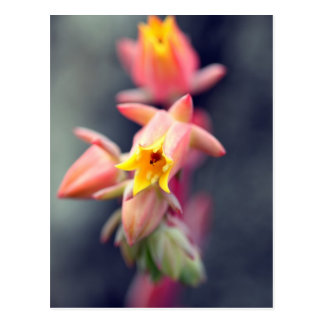 Echeveria Runyonii Habitus Inflorescences Postcard