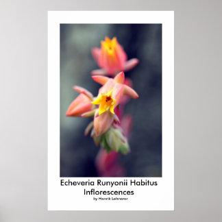 Echeveria Runyonii Habitus Inflorescences Print
