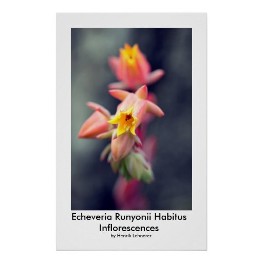 Echeveria Runyonii Habitus Inflorescences Poster
