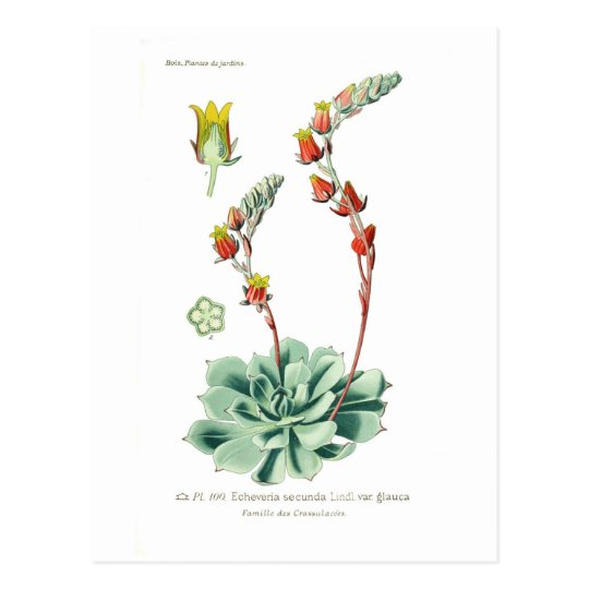 Echeveria secunda postcard