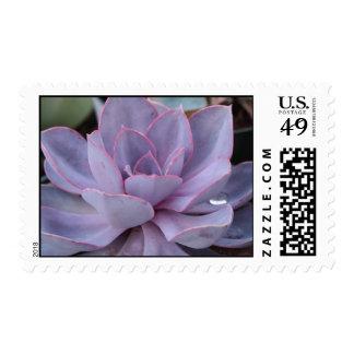 Echeveria stamp