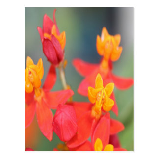 Echeveria Succulent Red and Yellow Flower Postcard