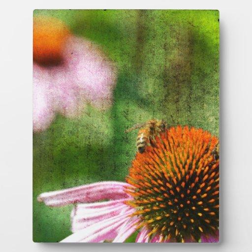 Echinacea del verano placas para mostrar