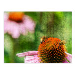 Echinacea del verano postal