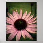 Echinacea Flower Purple Posters
