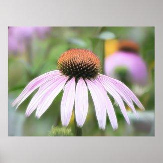 Echinacea - Magnus