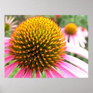 Echinacea Poster