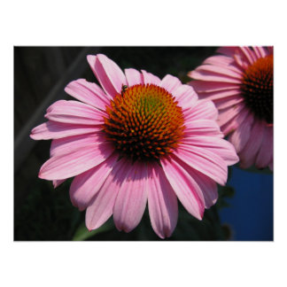 Echinacea with Pollinator Poster