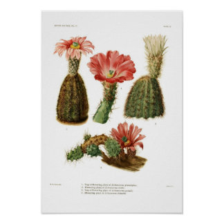 Echinocereus species poster