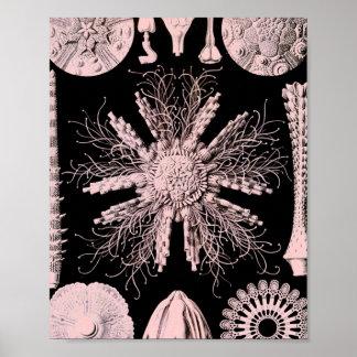 Echinoidea - Sea Urchins Poster