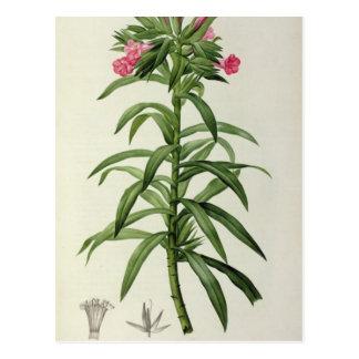 Echium Grandiflorum Postcard