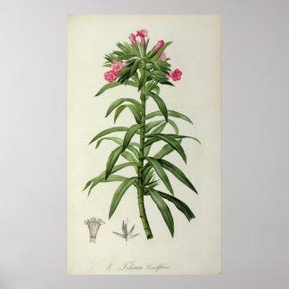Echium Grandiflorum Poster