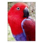 Eclectus Parrot Greeting Cards