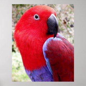 Eclectus Parrot Print