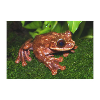 Ecnomiohyla Rabborum Rabbs Fringe Limbed Tree Frog Stretched Canvas Prints