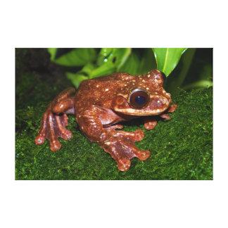 Ecnomiohyla Rabborum Rabbs Fringe Limbed Tree Frog Canvas Print