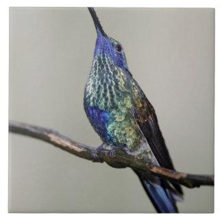 Ecuador, casa de campo del pájaro de Tandayapa. El Azulejo Cuadrado Grande