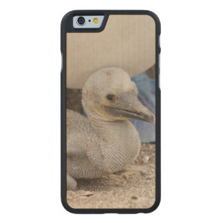 Ecuador, Galapagos, Espanola, Punta Suarez Carved® Maple iPhone 6 Slim Case