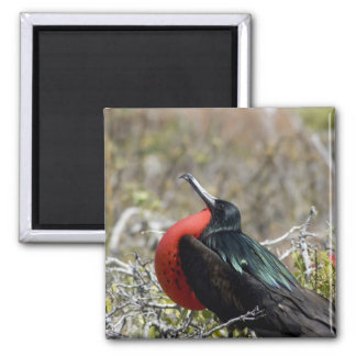 Ecuador, Galapagos, North Seymour. Great Magnet
