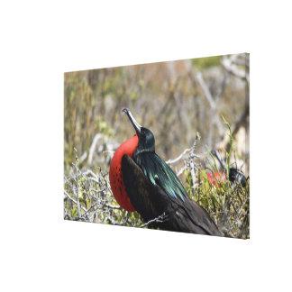 Ecuador, las Islas Galápagos, Seymour del norte. Impresión En Tela