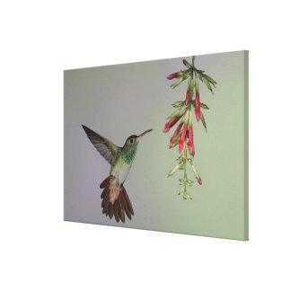 Ecuador, Tandayapa Bird Lodge. Rufous-tailed Gallery Wrap Canvas