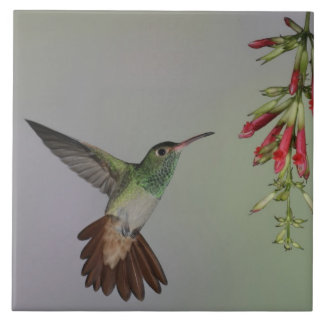 Ecuador, Tandayapa Bird Lodge. Rufous-tailed Ceramic Tile