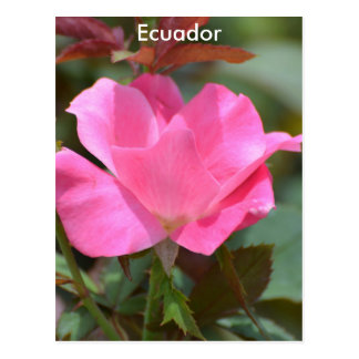 Ecuadorian Rose Postcard