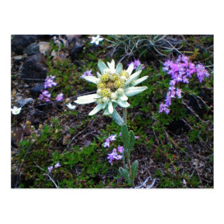 Edelweiss postcard
