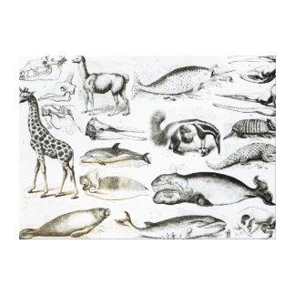 Edentata de los cetáceos impresión de lienzo