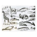 Edentata de los cetáceos postal