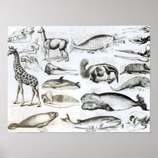 Edentata de los cetáceos póster