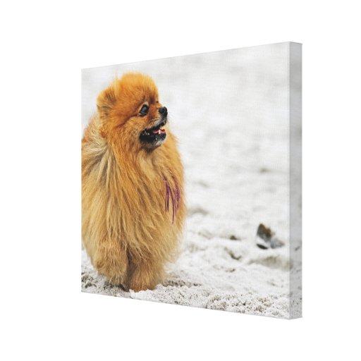 Edgrrrr #3 - Pomeranian Lona Envuelta Para Galerías
