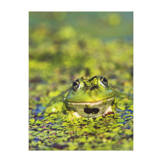 Edible Frog in the Danube Delta Canvas Print
