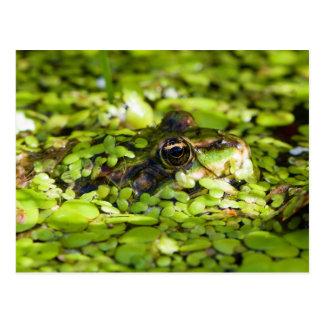 Edible Frog Pelophylax kl. Esculentus Postcard