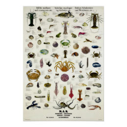 Edible Molluscs & Crustaceans Vintage Repro. Print