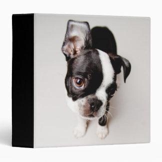 Edison Boston Terrier puppy. Binder