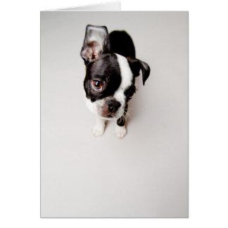Edison Boston Terrier puppy. Card
