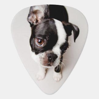 Edison Boston Terrier puppy. Guitar Pick